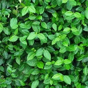 Euonymus fortuneii