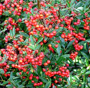 Pyracantha Dart's Red